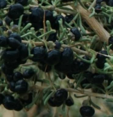 Goji Big Black Lycium Ruthenicum One Earth Botanical