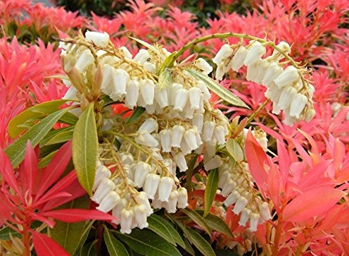 Pieris Japonica Forest Flame One Earth Botanical