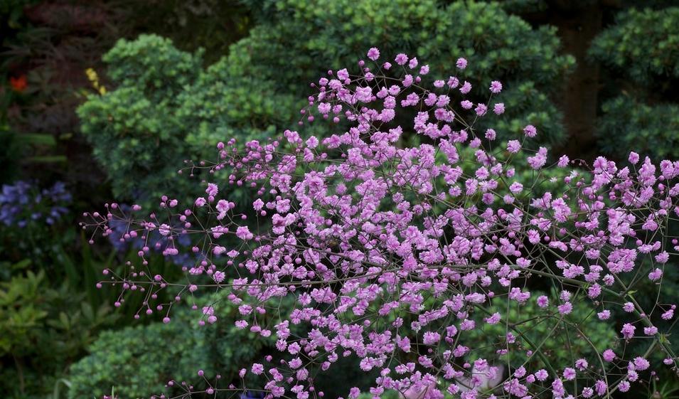 Farmers Only Reviews >> Thalictrum delavayi 'Meadow Rue' – One Earth Botanical